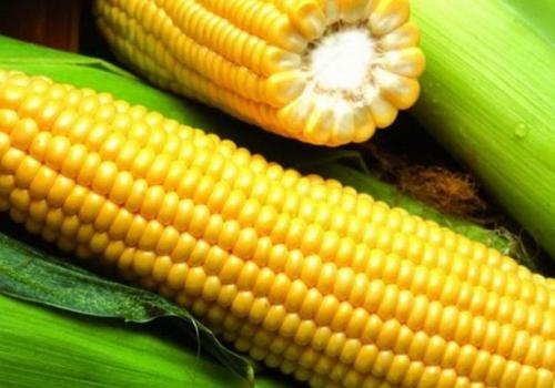 Гибрид кукурузы Росс 130 МВ