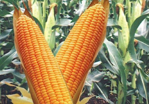 Гибрид кукурузы Росс 199 МВ