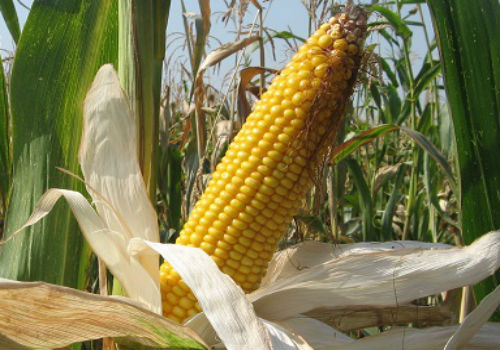 Среднеранняя кукуруза