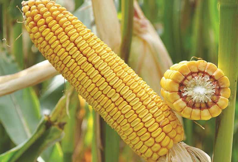 Среднепоздняя кукуруза купить