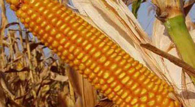 Семена кукурузы Росс 140