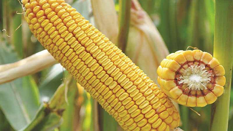 Семена кукурузы Краснодарский 425