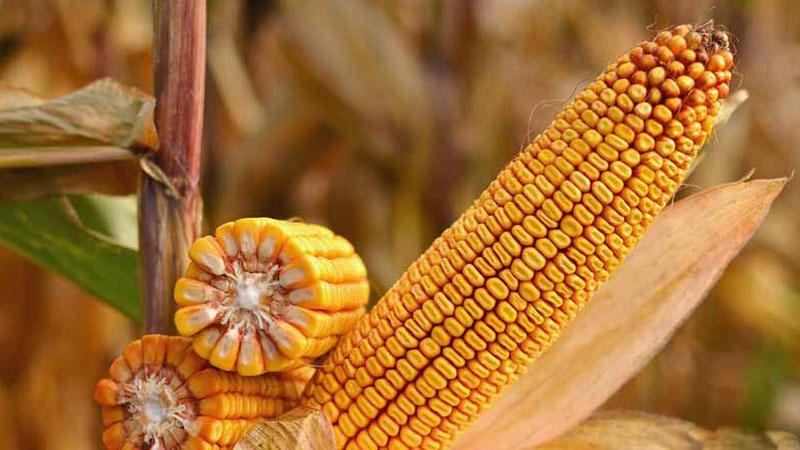 Семена кукурузы Краснодарский 385