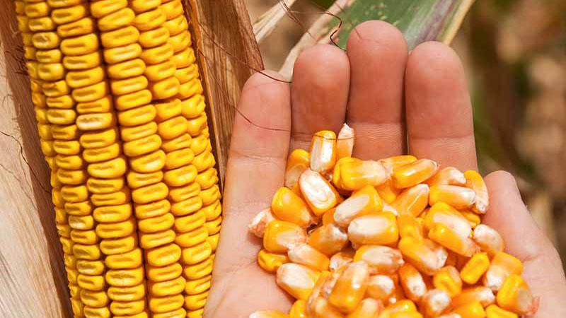 Семена кукурузы Краснодарский 507